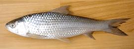 bata-fish